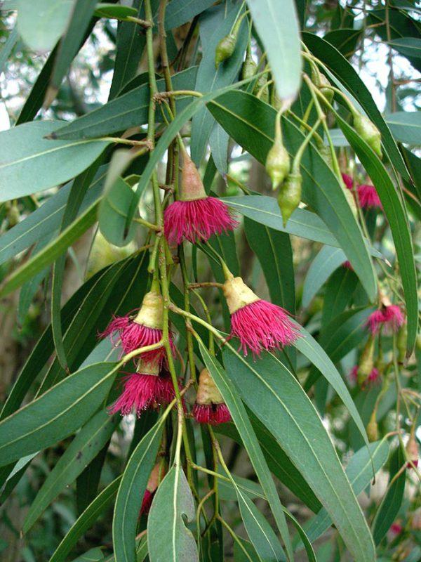 Eucalyptus Essential Oil - 1 Fluid Oz