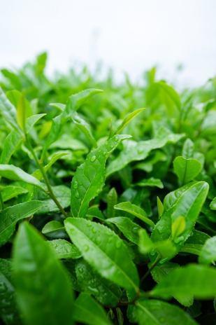 98% Polyphenol Green Tea Extract